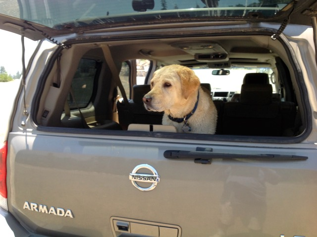 Dog in the back of a car